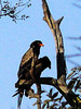 Among the eagles. the Bateleur (Terathopius ecaudatus) is probably the most freuqntly one seen at Thornybush, but most adults are circling high up in the sky. Seeing a pair of them in a tree (regardless of how bad the pictyure) is really special.