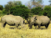 Square-lipped (or White) Rhinoceros (Ceratotherium simum).<br /> While most white rhino didn't seem to mind our present at all, even up close,