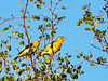 Cape Weaver (Ploceus capensis).<br /> Though extremely far north for its range here, this bird is unmistakeable for the white eye in the male and the brown eye in the female.