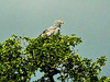 The African Harrier-Hawk (Polyboroides typus) is one of my very favotire birds; that's why I left this terrible picture in here.