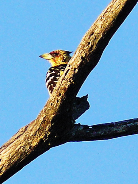 Crested Barbet (Trachyphonus vaillantii).