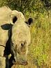 Square-lipped (or White) Rhinoceros (Ceratotherium simum).