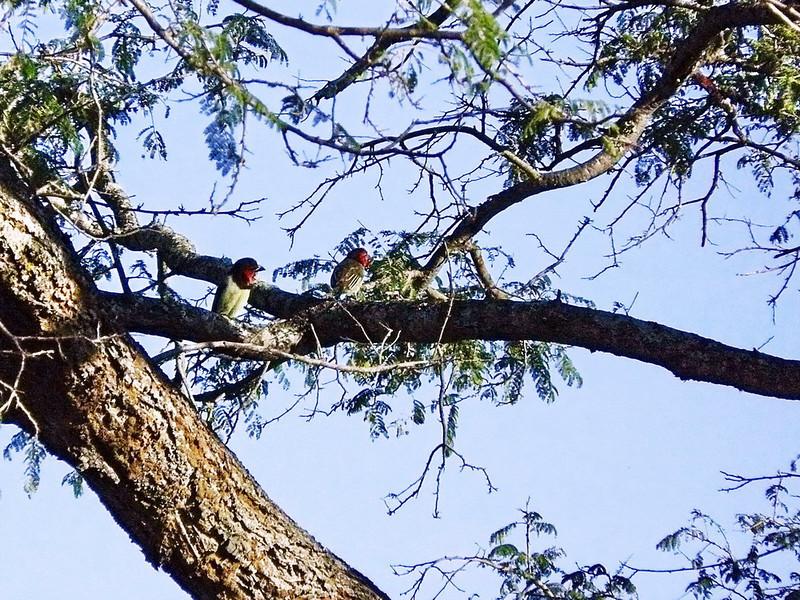 Black-collared Barbet (Lybius torquatus).