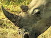Square-lipped (or White) Rhinoceros (Ceratotherium simum).<br /> and can even grow lichens.