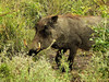Common Warthog (Phacochoerus africanus).<br /> and enormous tusks.