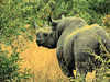 Hook-lipped (or Black) Rhinoceros (Diceros bicornis).