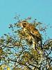 Vervet Monkey (Cercopithecus pygerythrus).