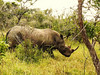 Square-lipped (or White) Rhinoceros (Ceratotherium simum).<br /> Rhino portraits anyone?