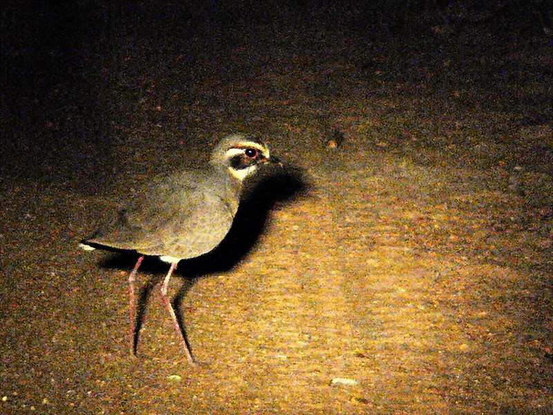 Bronze-winged Courser (Rhinoptilus chalcopterus).