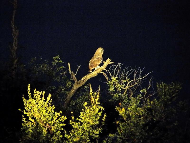 Verreaux's Eagle-Owl (Bubo lacteus).