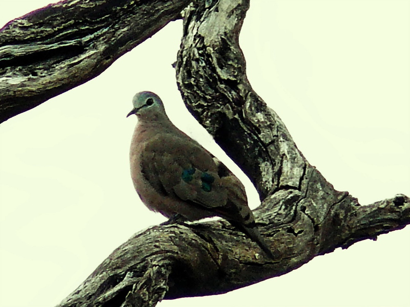 Emerald-spotted Wood-Dove (Turtur chalcospillos).