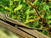 African Striped Mabuya or Striped Skink (Trachylepis striata punctatissima).