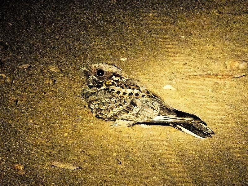 Square-tailed Nightjar (Caprimulgus fossii).