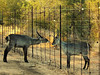 Common Waterbuck (Kobus ellipsiprymnus ellipsiprymnus).<br /> Waterbuck bulls are quite territorial. These two even seem to be contemplating a dominance fight across the fence.