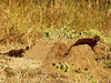 Dwarf Mongoose (Helogale parvula).<br /> They also, at this time of year, have little ones to attend to.