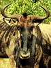 Black-bearded Wildebeest (Connochaetes taurinus taurinus).