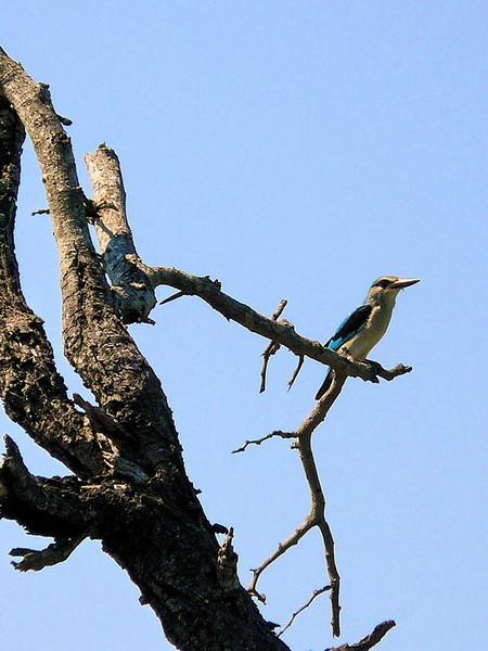 Woodland Kingfisher (Halcyon senegalensis).