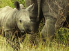 Square-lipped (or White) Rhinoceros (Ceratotherium simum).