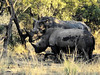 Square-lipped (or White) Rhinoceros (Ceratotherium simum).<br /> and can look it.