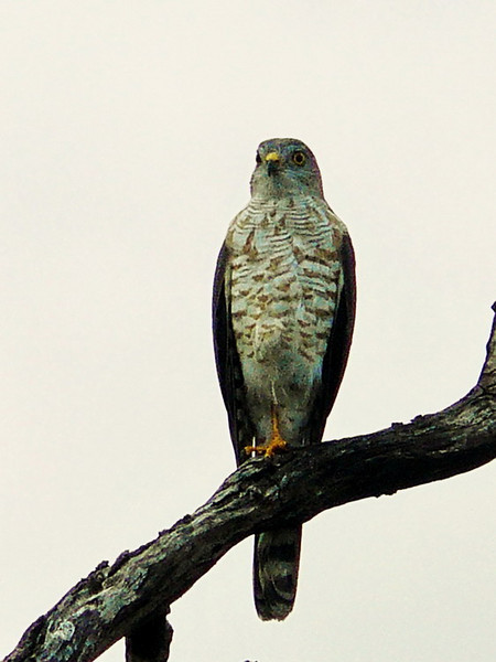 Little Sparrowhawk (Accipiter minullus), immature.