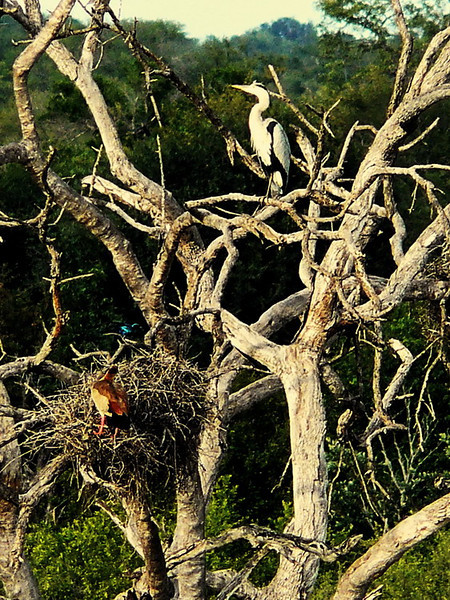 Heron, goose and starling: strange bedfellows in a dead tree.
