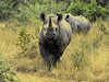 Hook-lipped (or Black) Rhinoceros (Diceros bicornis).  <br /> Since they have a reputation for being very aggressive,