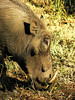 Common Warthog (Phacochoerus africanus).