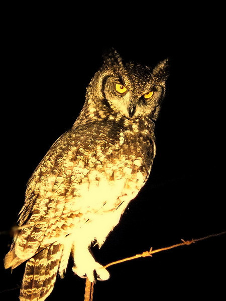 Spotted Eagle-Owl (Bubo africanus).