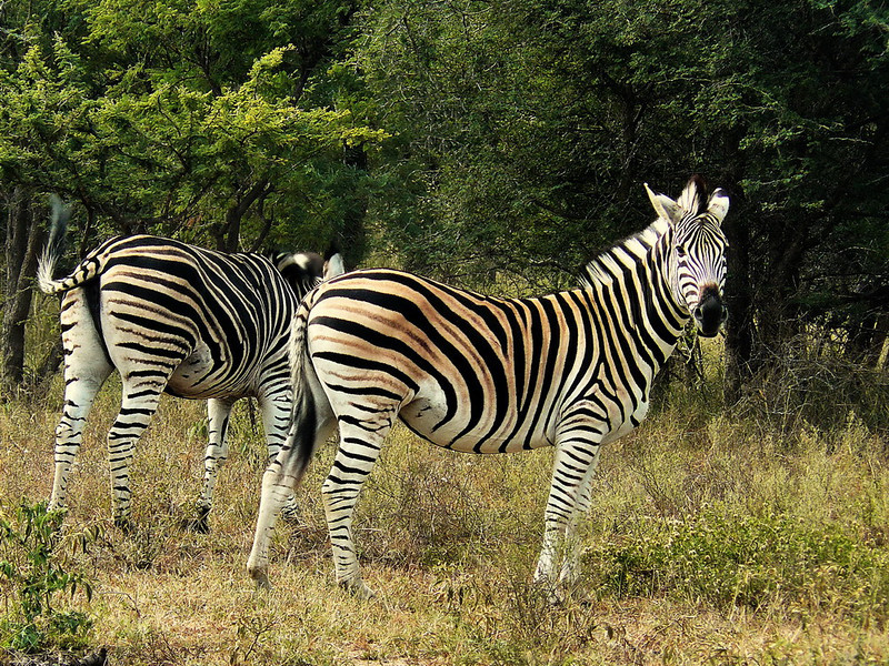 "Chapman's Zebra (Equus quagga chapmani) is the southern subspecies of the Plain's Zebra. It has pronounced ""shadow stripes"", which more northern subspecies don't show."