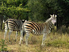 """Chapman's Zebra (Equus quagga chapmani) is the southern subspecies of the Plain's Zebra. It has pronounced """"shadow stripes"""", which more northern subspecies don't show."""