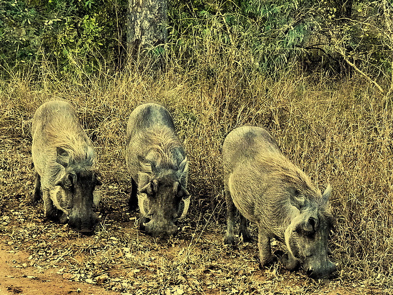 Common Warthog (Phacochoerus africanus).<br /> The warthogs here are quite spectacular, with their thick white sideburns