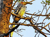 Southern Yellow-billed Hornbill (Tockus leucomelas).