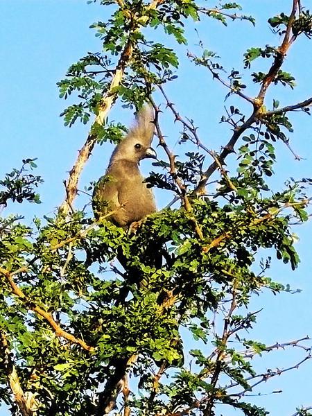 Grey Go-away-bird (Corythaixoides concolor).