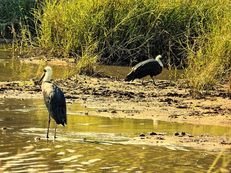 Woolly-necked Stork (Ciconia episcopus).
