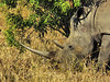 Square-lipped (or White) Rhinoceros (Ceratotherium simum).<br /> Some of these horns are truly fabulous