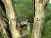 Giant Kingfisher (Megaceryle maxima), juvenile.