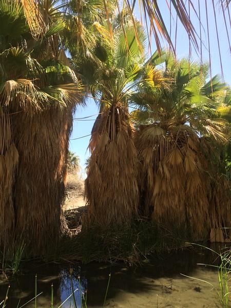 Fan palms wearing their coats