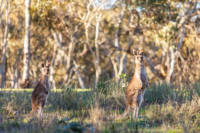 Kangaroos around the lake
