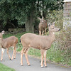 These deer were just wandering the neighborhoods.