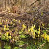 Skunk Cabbage...
