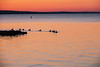 Waterfowl Thunder Bay harbour before sunrise.