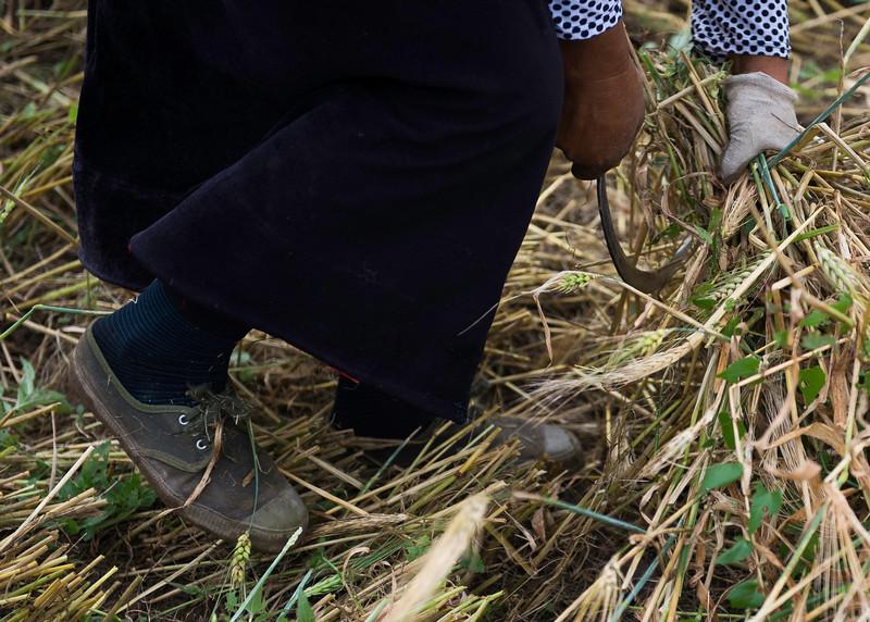 Cutting the barley