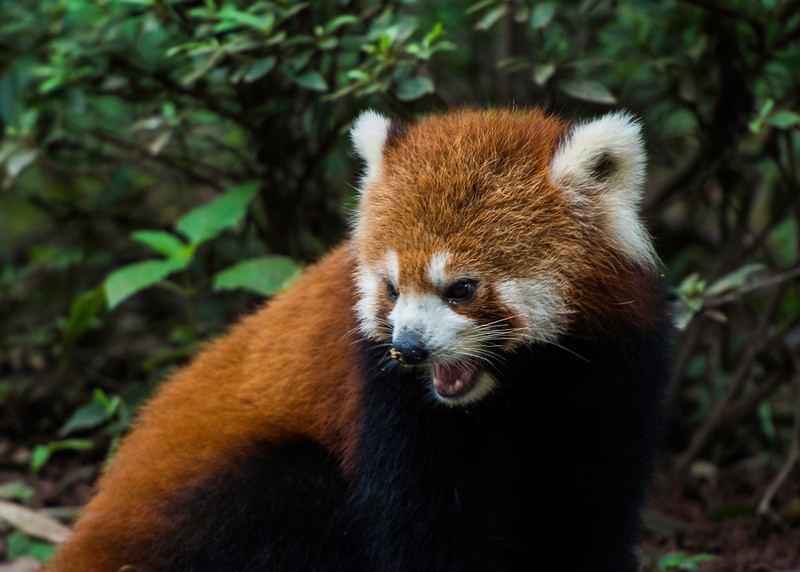 Red panda at the Chengdu Research Base of Giant Panda