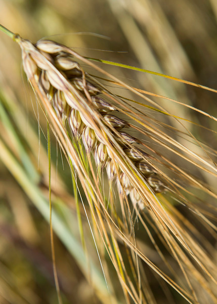 The barley is a staple used throughout the year