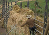 The barley is spread over the horizontal bars and let to sun dry for about a month.