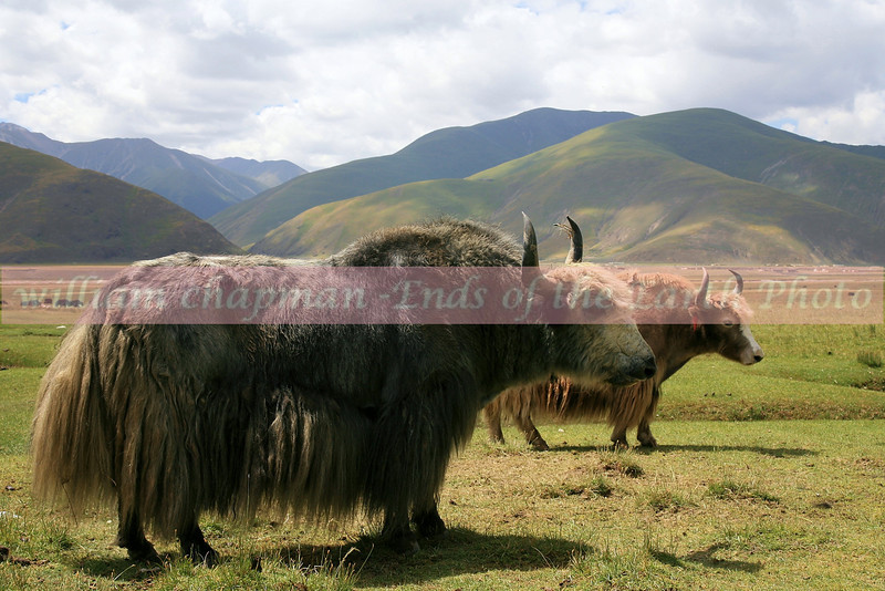 Yaks grazing  - Central Tibet