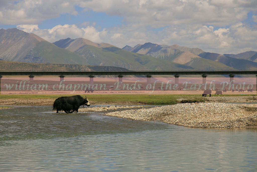 Yak crossing river with Tibet-China railroad in background