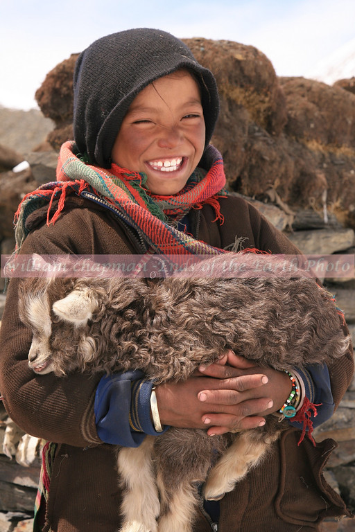 Tibetan girl tending sheep and goats with family near high Himalayan glacier