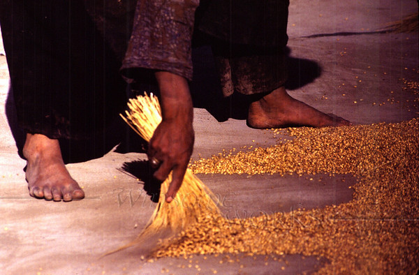 Woman sweeping barley after drying it on the large flat area at the airport