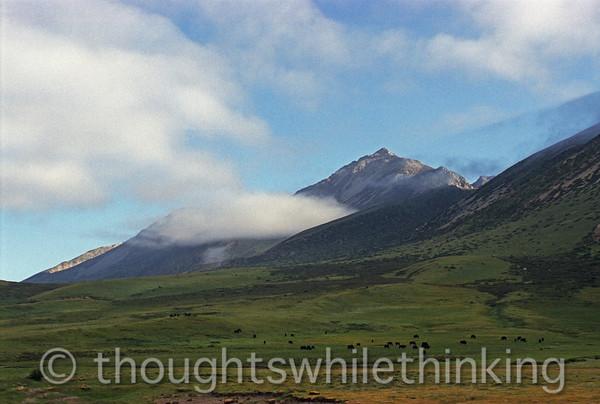 Tibet 2006 Litang to Markham yaks grazing Aug 3